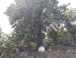 Unik! Pohon Jati Raksasa Tumbuh di Komplek Makam, Usianya Ratusan Tahun
