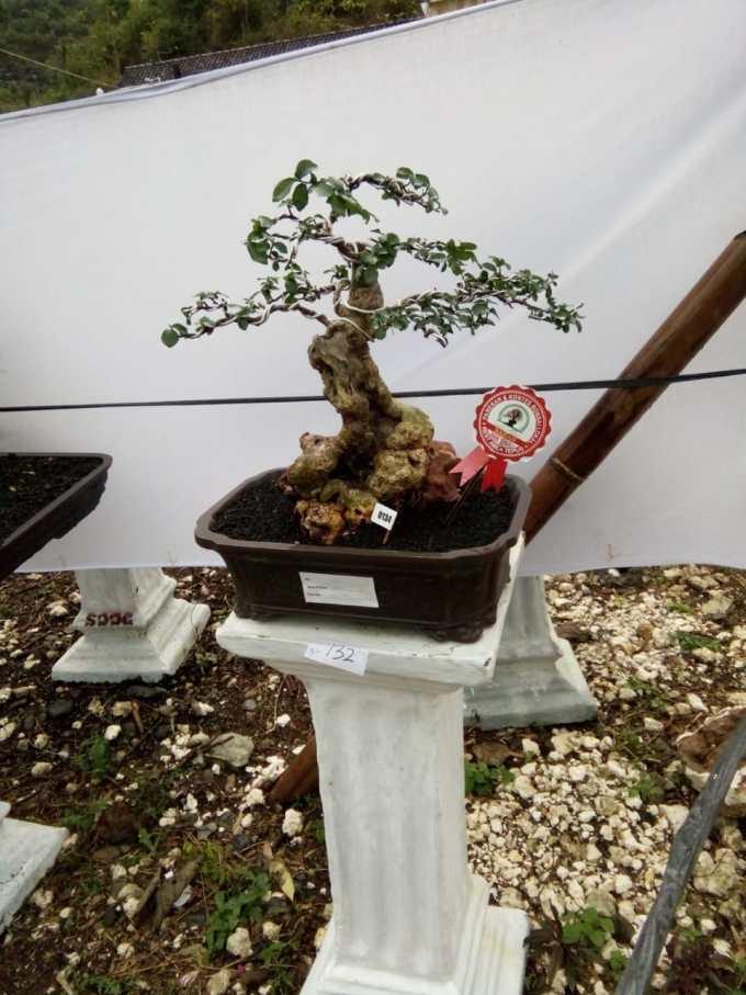Salah satu Bonsai milik peserta