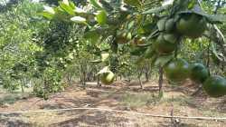 Kebun Buah Jeruk