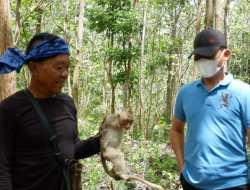 Ganggu Tanaman Petani di Gunungkidul, Kera Ekor Panjang Ditangkap Suku Badui