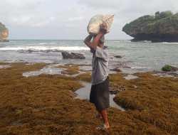 Musim Rumput Laut, Jadi Berkah Warga Pesisir Gunungkidul