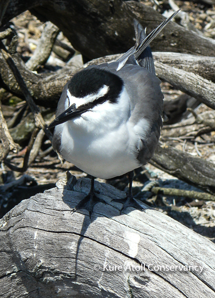 Adult Gray-backed Tern