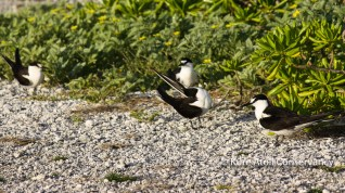 Adult Sooty Terns