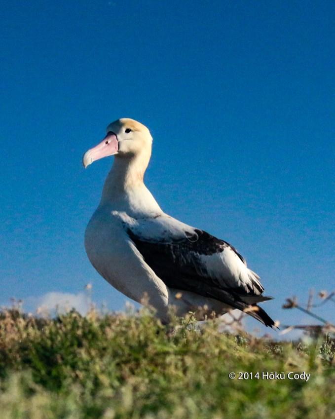 Adult Short-Tailed Albatross