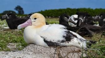 Adult Short-Tailed Albatross Nesting