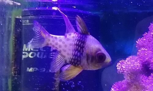 マンジュウイシモチ 飼育 混泳 複数 海水魚 初心者 おすすめ 小さい 水槽 簡単 飼う