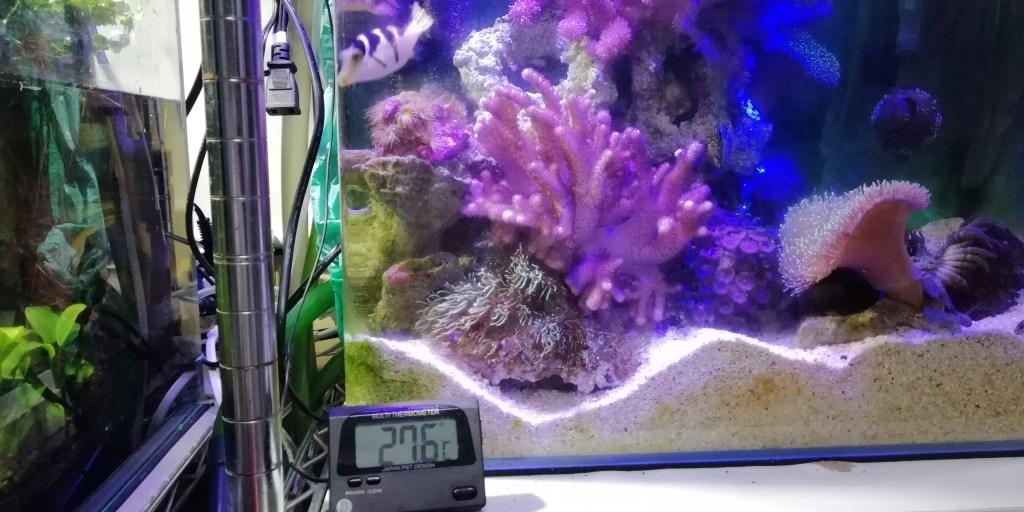 スターポリプ ナガレカタトサカ マメスナ サンゴ ソフト コーラル 簡単 飼育 相性 強い 弱い 勢力 争い シマキンチャクフグ