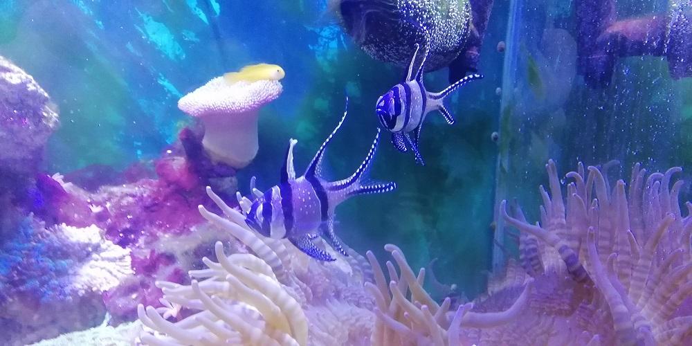 プテラポゴンカウデルニー プテラポゴン 飼育 餌 混泳