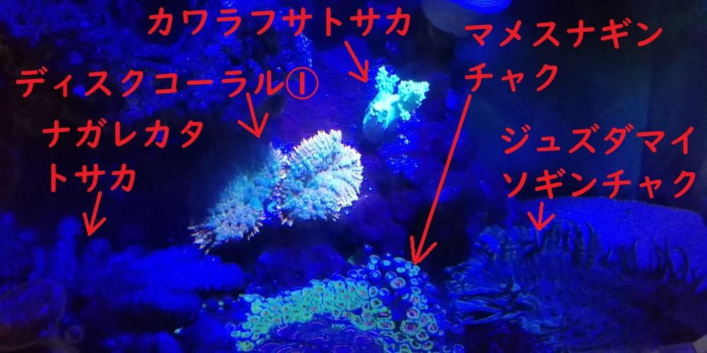 カワラフサトサカ ウミキノコ キイロサンゴハゼ キンセンハゼ ソフト サンゴ ナガレカタトサカ ジュズダマイソギンチャク