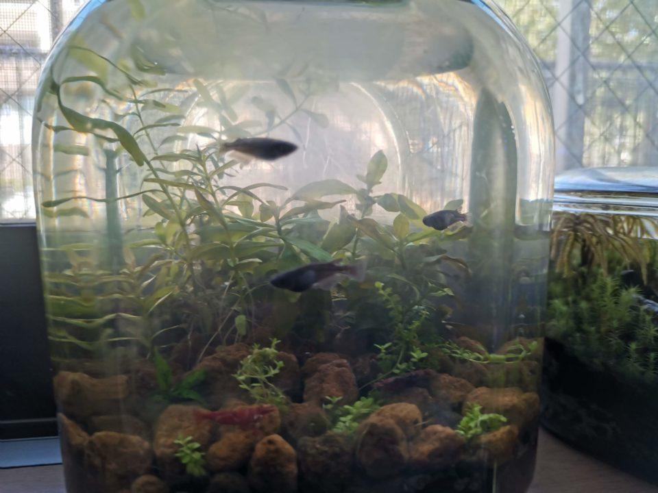 臨時水槽で3匹収容になったオロチメダカ