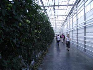Plantacje pomidorów w szklarniach pod Mińskiem są prawie stuprocentowo rentowne… tak musi być i tak jest