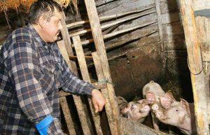 Tadeusz Guszczo nie będzie miał innego wyjścia, jak tylko ubić swoje świnie...<br/>Fot. Marian Paluszkiewicz