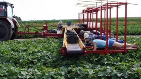 Praca przy zbieraniu ogórków gruntowych jest najcięższa. Polega na leżeniu na brzuchu w przerobionym traktorze, po kilkanaście osób Fot. archiwum