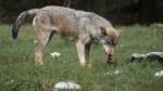 Wilki znów atakują bydło