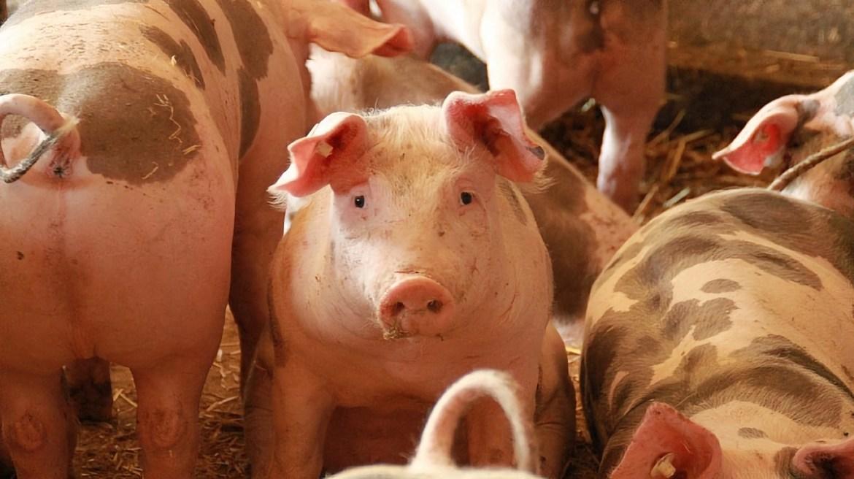В Биробиджанском районе вспышка африканской чумы свиней