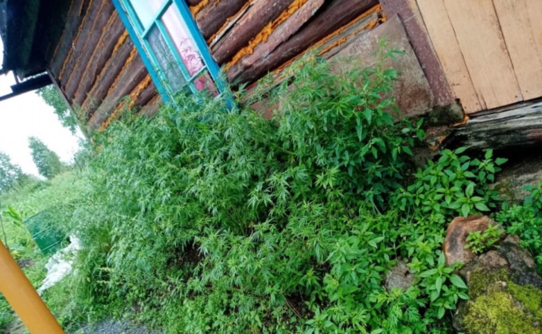 «Травка зеленеет, солнышко блестит»: мак и коноплю нашли на приусадебном участке кульдурца в ЕАО