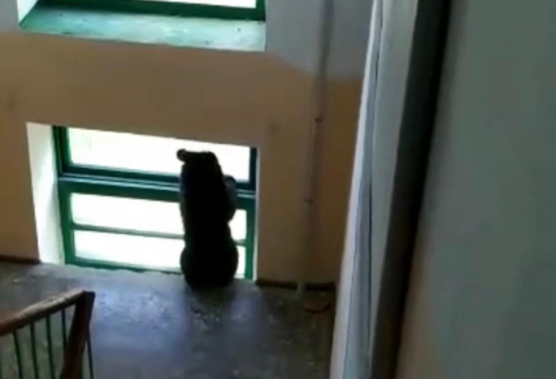 В городе Югорске в ХМАО медведи уже заходят в подъезды жилых домов (ВИДЕО)