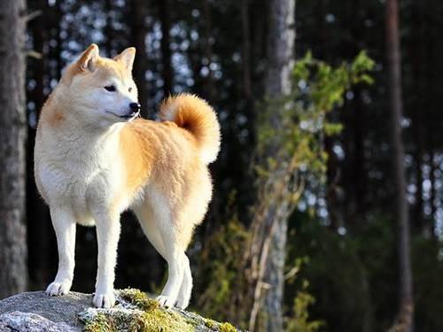 柴犬 種類