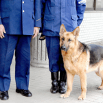 ジャーマンシェパード 警察犬