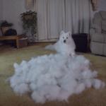 サモエド犬