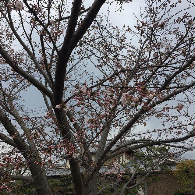 やっと桜が開花