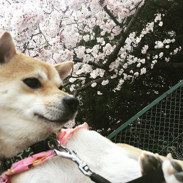 今日の桜#豆柴 #さくら