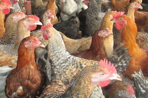 Bio-security – Learn How to Prevent Introduction or Spreading of Diseases in Your Poultry Farm