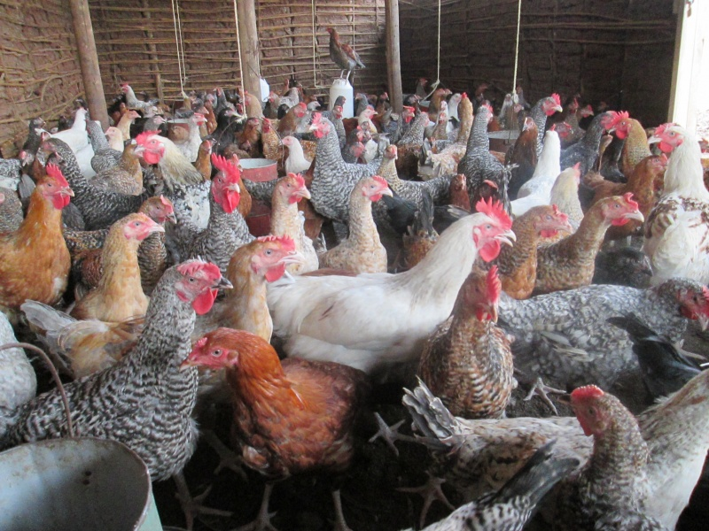 Kienyeji Chicken Farming and Business
