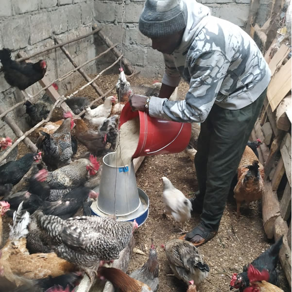 kuroiler chicken farmer supplier wambugu kamau