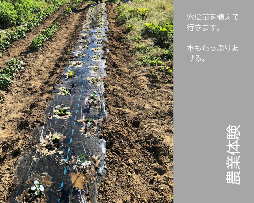 農業体験 vol2 白菜苗植え 10