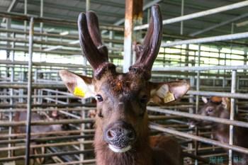 親子南投鹿場小旅行體驗鹿農的日常 原來鹿茸都是...... 這樣來的