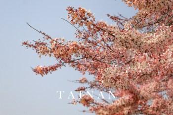 台南金砂花旗木步道 浪漫粉色濾鏡與網美公車站牌、白色鞦韆與芝麻迷宮
