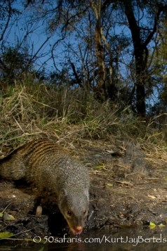 kurt jay bertels, camera trap, camera trap images, wildlife photography, BBC wildlife magazine, photography, banded mongoose, drinking