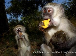 kurt jay bertels, camera trap, camera trap images, wildlife photography, BBC wildlife magazine, photography, vervet monkeys, marula fruit, baby drinking