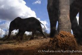 kurt jay bertels, camera trap, camera trap images, wildlife photography, BBC wildlife magazine, photography, elephant, foot, kicking camera, dust