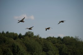 ducks_on_the_wing