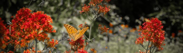 header butterflyonbush