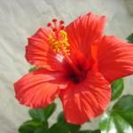 クレオパトラも愛用していた、 見た目にも美しい真っ赤なハーブ