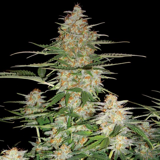 60 Day Wonder Autoflower Marijuana Seeds