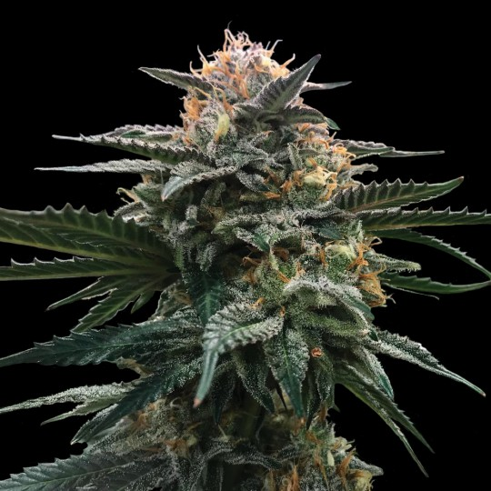 Blood Orange Sorbet Cannabis Seeds