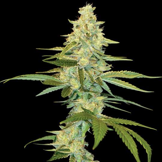Cannalope Kush Cannabis Seeds