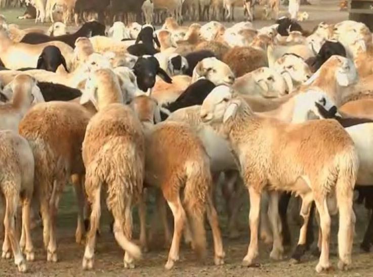 إرتفاع كبير في أسعار الخراف بالخرطوم