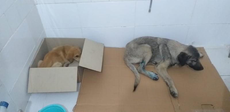 Trafik kazasında yaralanan köpekler tedavi için İstanbul'a gönderildi