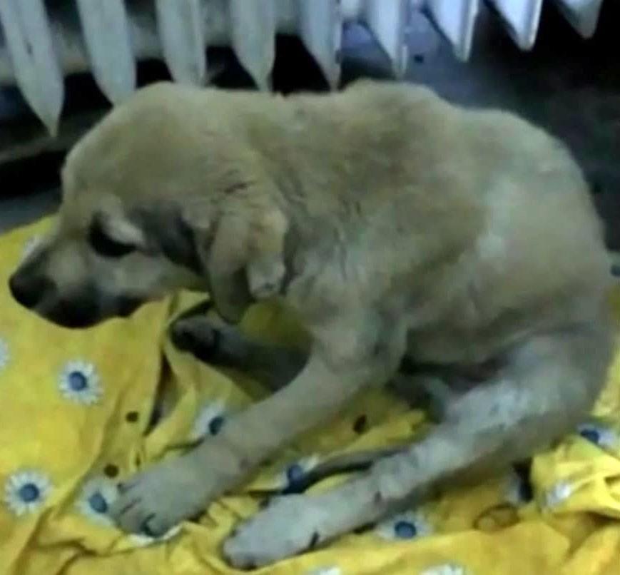 2 yaralı köpek tedavi için İstanbul'a götürüldü