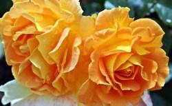 kochasz róże?