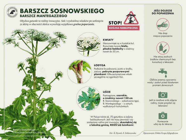 Co trzeba wiedzieć o barszczu Sosnowskiego