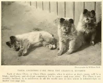 1919 Chow bébik