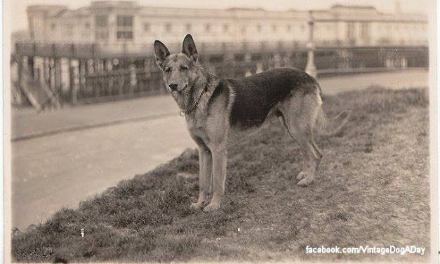 Kutya evolúció – Német juhászkutya