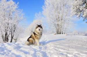 alaszkai-malamut-a-hóban