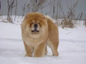 chow-chow a hóban